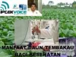 lipi-tembakau3